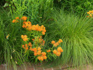 Asclepias tuberosa with northern dropsee, (Sprorbolus heterolepsis)
