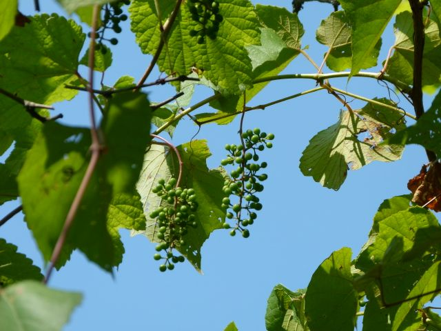 Native grape species grow inflorescence and fruit in downward facing habit