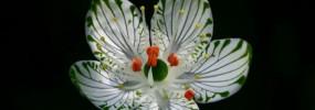 Parnassia grandifolia, large leaf-grass-of-Parnussus. Photo used with permission