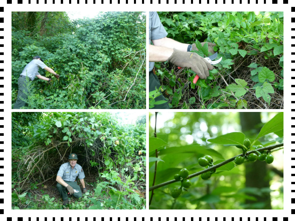 Ken Adams demonstrates proper weed warrior techniques. This spicebush was one of the victories at Dyke Marsh.