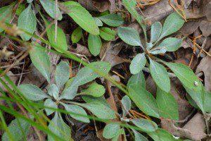 Basal rosettes of Packera antennariifolia, (shale barren ragwort). Photo by Clifford Gay