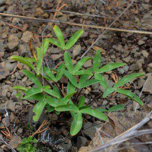 Photo12_Trifoliumvirginicum