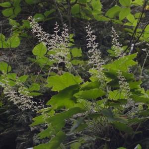Heuchera villosa (hairy alum root). Photo by Clifford Gay