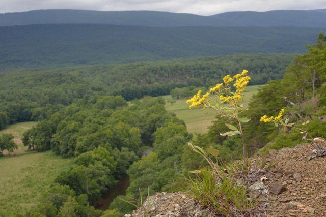 Eriogonum allenii (shale barren wild buckwheat) in full bloom and view from shale barren