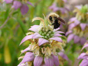 Native bees need native flowers, and people need native bees!
