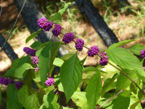 Beautyberry, Callicarpa americana