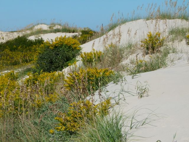 Seaside goldenrod, Solidago sempervirens on the dunes