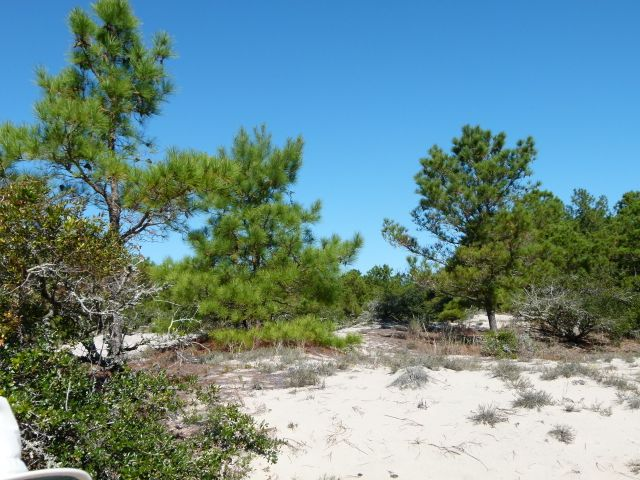 The more open sand - Loblolly pine community