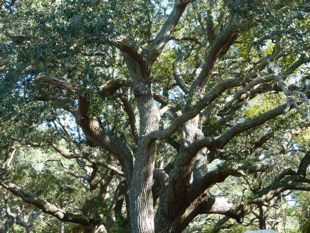 Live oak, Quercus virginiana