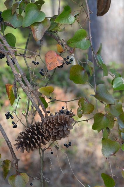 Smilax herbacea, Common Carrion Flower. Photo: Nicky Staunton