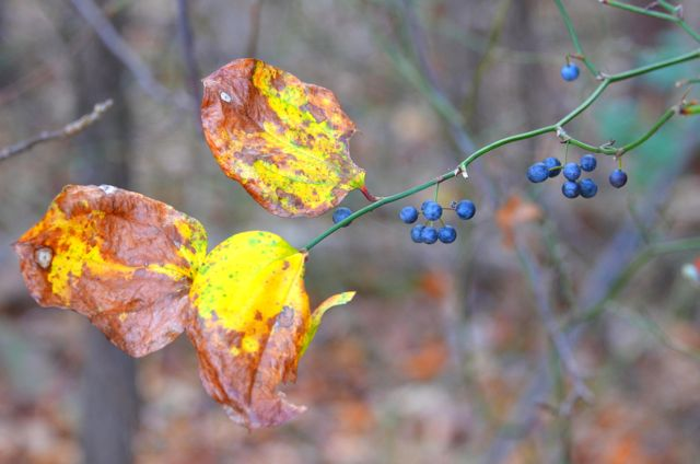 Smilax herbacea, Common Carrion Flower in autumn. Photo: Nicky Staunton