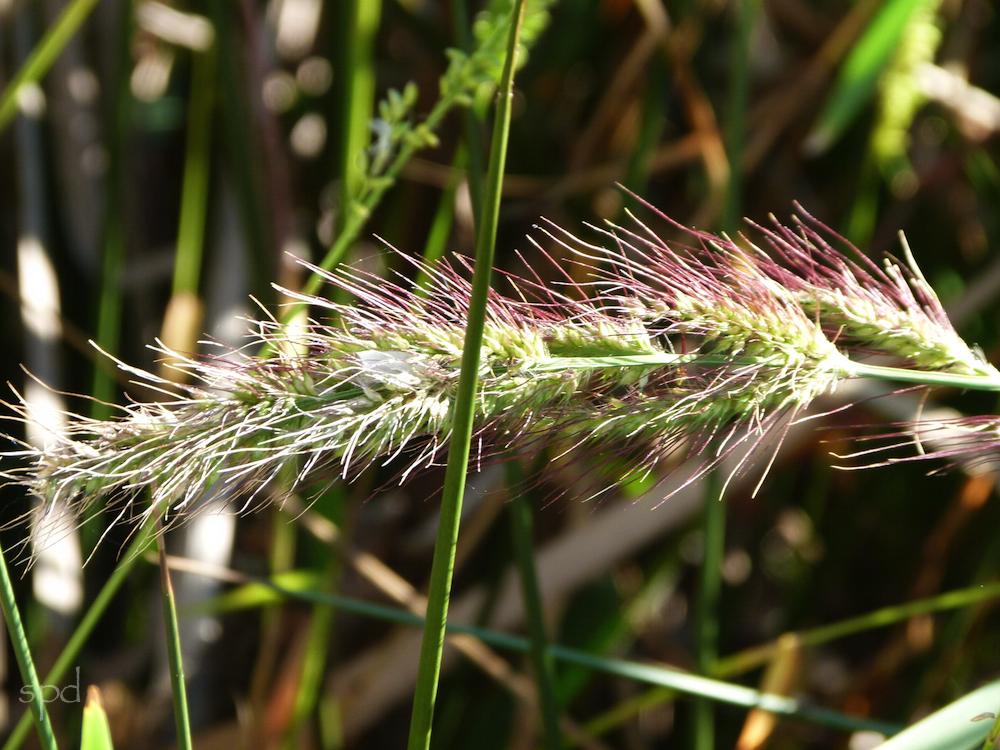 Coastal Barnyard Grass, Echinochloa walteri at False Cape Park, Virginia Beach