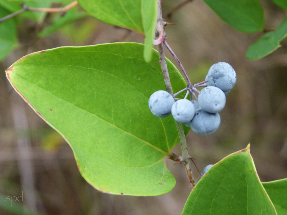 Smilax glauca, Whiteleaf Greenbrier. Photo: S.P.D.