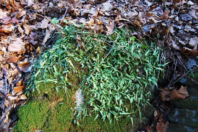 Evergreen colony of Walking Fern (Asplenium rhizophyllum) on limestone at Ferry Hill. Photo by R.H. Simmons.