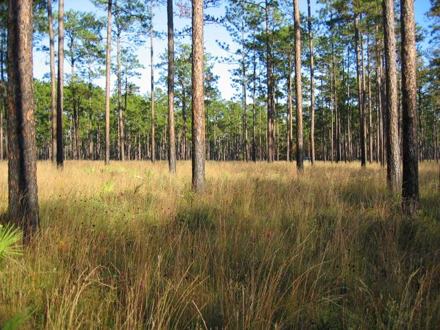 Longleaf Pine savanna, Apalachicola National Forest, northern Florida. Habitats of this type have the highest diversity of Dichanthelium in the U.S.