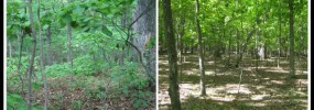 Left: Forest with healthy understory   Right: Over-browsed forest with no understory. Photos by Charles Smith