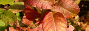 Poison ivy is a beautiful red color in fall.