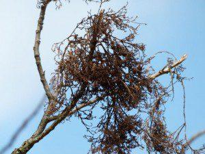 Poison ivy fluff