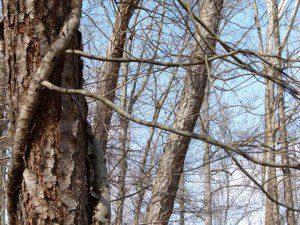 Arborescent poison ivy branches
