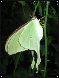 Another loser to Deer Browse: Luna moth, (Actias luna) ~Photo by Charles Smith