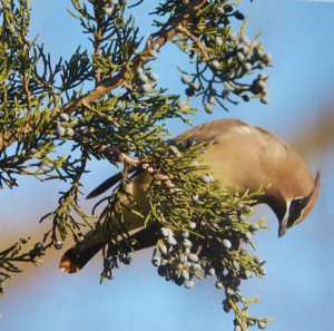Juniperous virginiana, Eastern red cedar, especially beloved by cedar waxwings