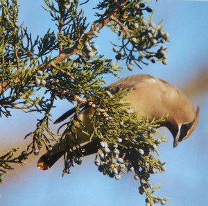 Juniperous virginiana, Eastern red cedar, especially beloved by cedar waxwings