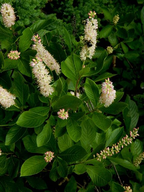 Wildflower Of The Year 2015 Sweet Pepperbush Clethra