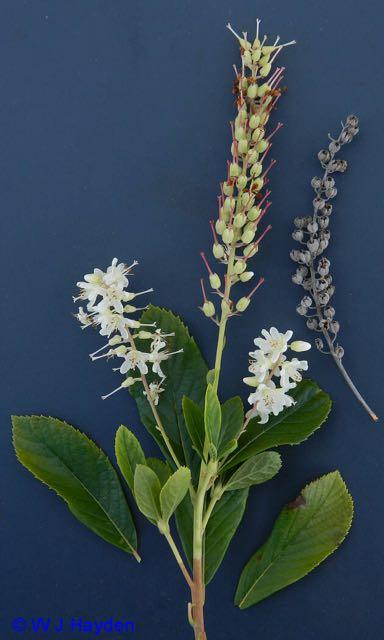 clethra_alnifolia_WHITIN_RES_DOUGLAS_MA_01s