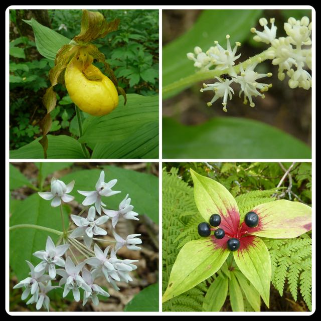 Top left: Yellow ladyslipper orchid (Cypripedium parviflorum), Top right: False Solomon's seal (Maianthemum recemosum), Bottom left: Four-leaved milkweed,  (Asclepias quadrifolia) , Bottom right: Indian cucumber root (Medeola virginiana) ~Photos by Charles Smith
