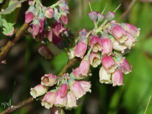 Many members of the genus Vaccinium , which includes blueberries, are used by specialist bees.