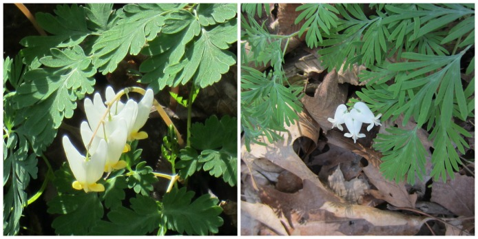 Dutchman's breeches on the left, Squirrel corn on the right.
