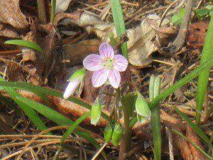 Spring beauty, (Claytonia virginica)