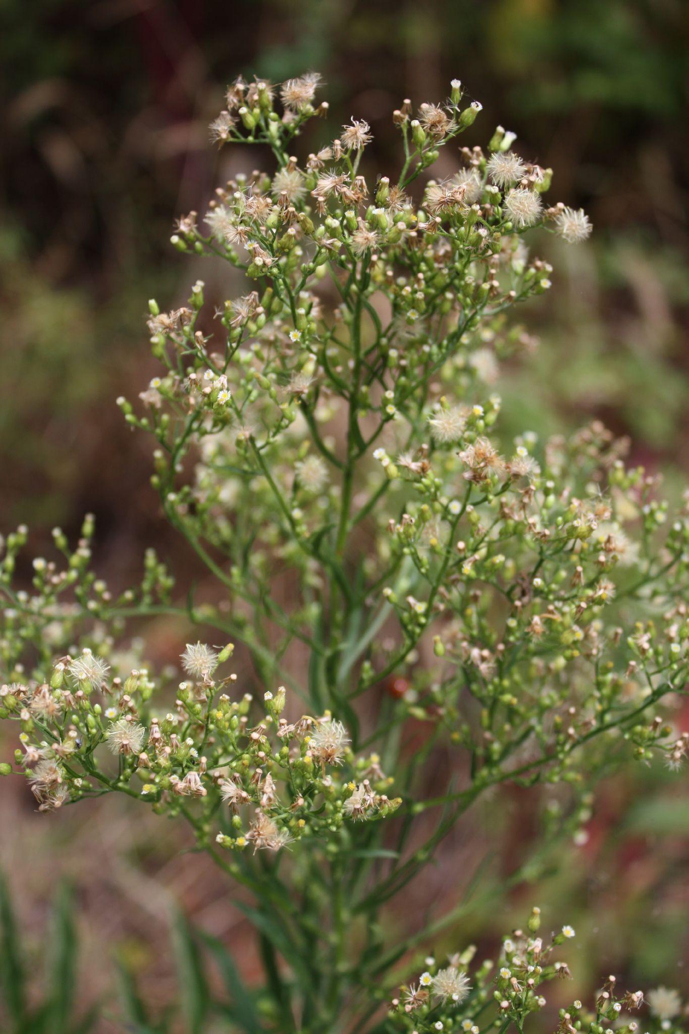 Horseweed, (Conyza canadensis). Photo credit: Phillip Merritt