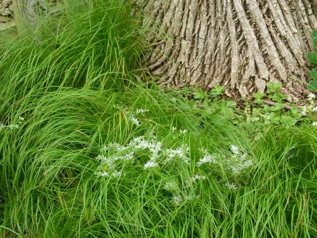 Beneath both oak and ash trees, Susan found it easy to insert small slips of the wonderful grass substitute, Pennsylvania sedge, (Carex pensylvanica) which eventually spread to for a thick carpet.