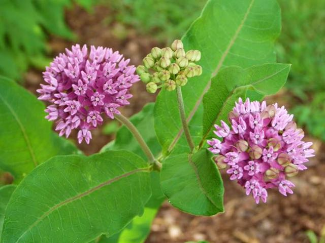 "Purple Milkweed (Asclepias purpurascens) in the ""pollinator garden"" planters at the entrance to Tarleton Park in the City of Alexandria, Virginia. This historically known species in Alexandria was reintroduced to its original habitat and general location in the City from locally sourced and propagated stock. Photo by Sue Dingwell."