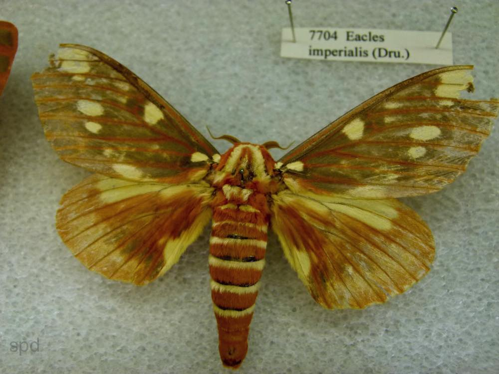Eacles imperialis, the Imperial Moth. Conifers and deciduous trees and shrubs including pine (Pinus), oak (Quercus), box elder (Acer negundo), maples (Acer), sweet gum (Liquidambar styraciflua), and sassafras (Sassafras albidum).