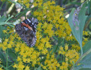 Baccharis hamilifolia or Groundsel Tree, male plant in flower,with Painted Lady butterfly