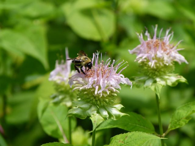 Bee balm, (Monarda fistulosa) is part of the merry mix.