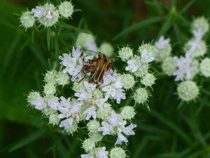 Narrow leaf mountain mint, proving its value as an insect attractor.