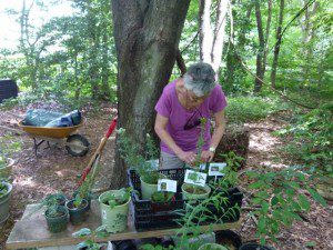 Donna in her potting area, placing labels on plants to used in a demonstration.