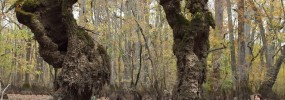 Cypress arch  - skeletons of the bald cypress, (Taxodium distichum)
