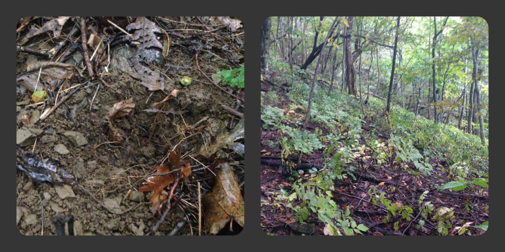 The hole where ginseng was removed versus a healthy colony on a hillside.