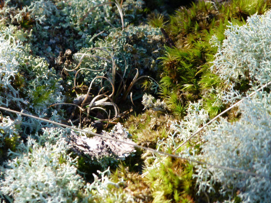 A variety of mosses, and lichens surrounding a curly poverty oatgrass plant, (Danthonia spicata).