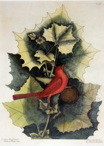 Sycamore and Tanager, 18th century, hand-colored engraving, Mark Catesby, courtesy of the Garden Club of Virginia.
