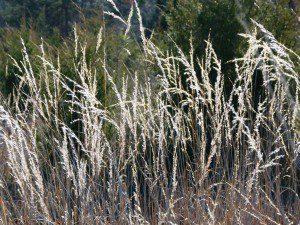 Indiangrass, (