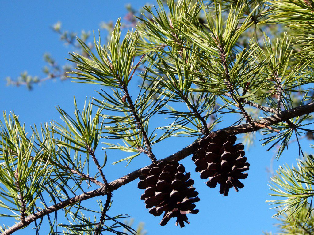 Shortleaf pine, (Pinus echinata), cones ovoid and nearly sessile.