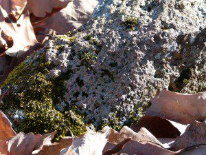 Serpentinite, a kind of soapstone, made a good foothold for mosses and lichens.