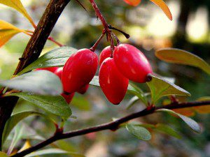 Japanese barberry, (Berberis thunbergii). Note the slightly elongated, oval-shaped berries.