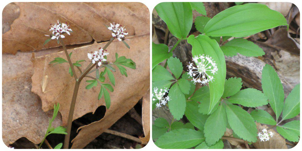 Harbinger of Spring, (Erigenia bulbosa), and Dwarf ginseng,  (Panex trifolium). Photos: Laura Beaty