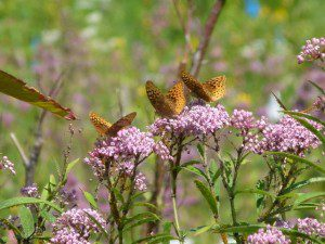 Obligatory pic of flowers and butterflies. Butterfly weed, (Asclepias incarnata)
